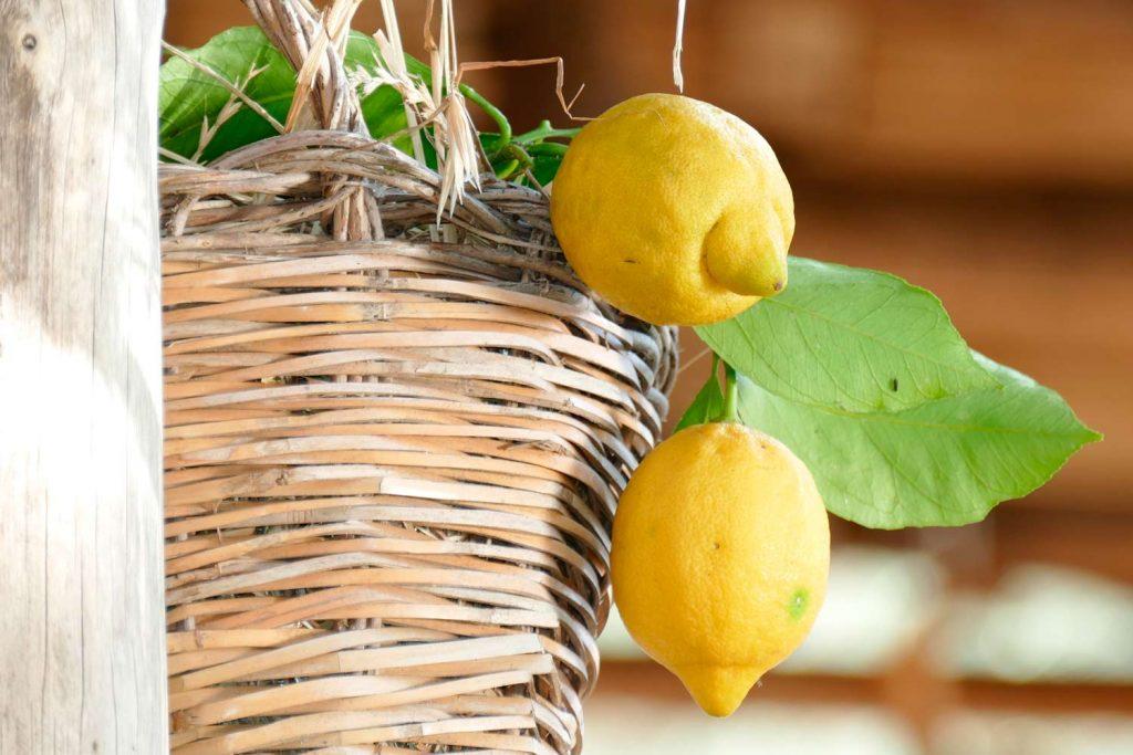 Lemons of Amalfi Coast, Italy